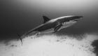 Great White Shark Safari